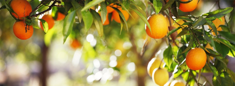 photocase7ojripgx54895532_orangenbaum.jpg