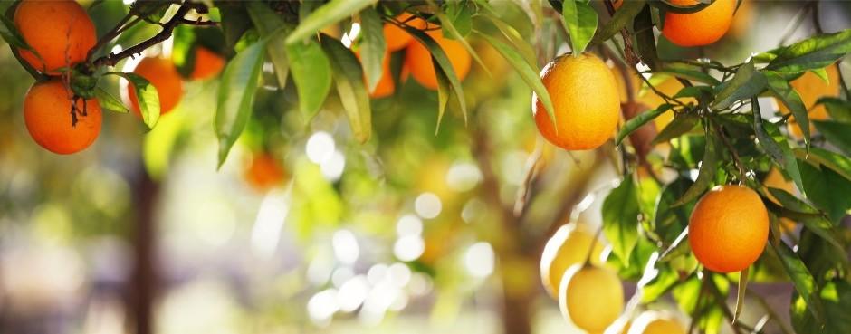 photocase7ojripgx54895532_orangenbaum